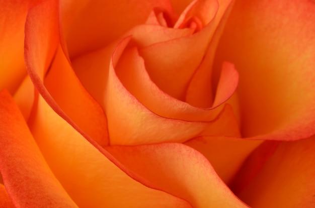 Linda rosa laranja close up