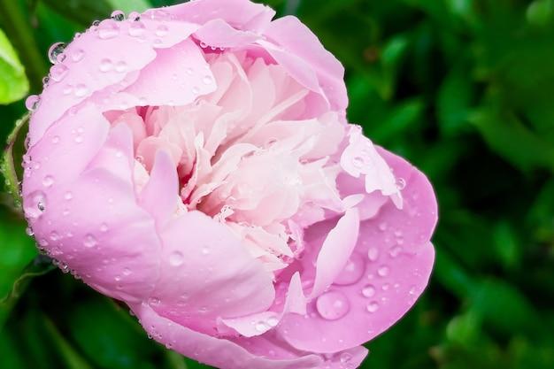 Linda rosa rosa com água cai sobre um fundo verde de folhagem.