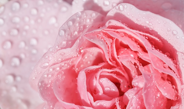 Linda rosa rosa com gotas de água pode ser usada como plano de fundo em estilo romântico de foco suave