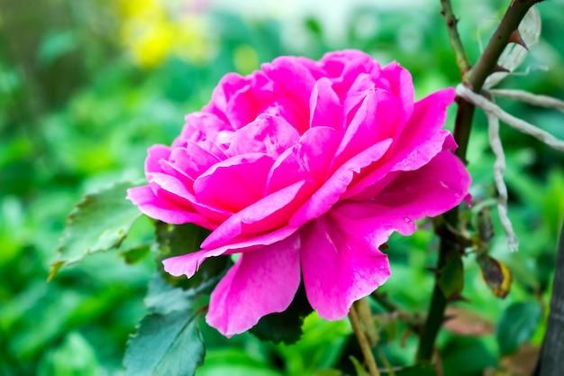 Linda rosa rosa em um jardim