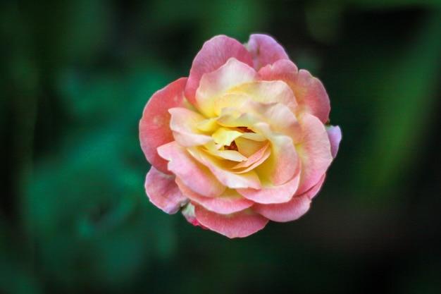 Linda rosa rosa no fundo da natureza