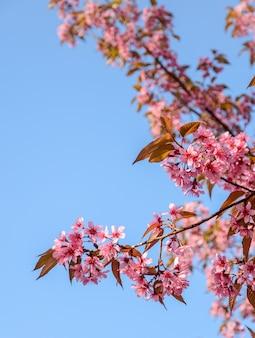 Linda rosa selvagem flor de cerejeira do himalaia em plena floração sobre o céu azul