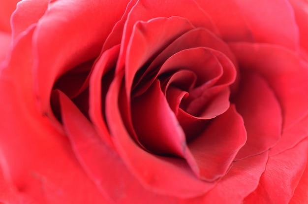 Linda rosa vermelha brilhante close-up com muitas pétalas