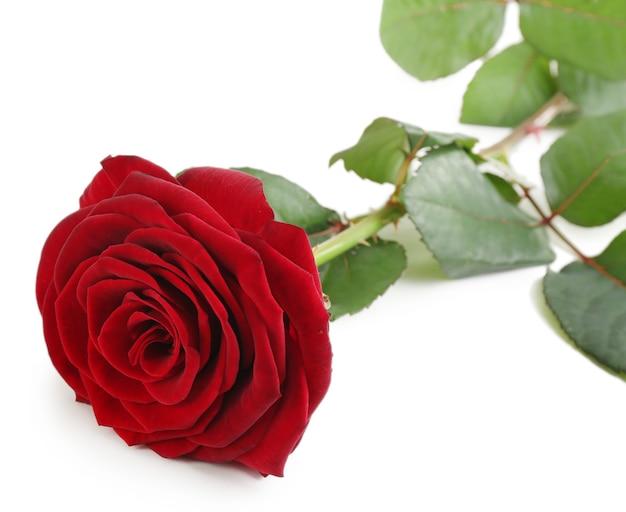 Linda rosa vermelha em branco