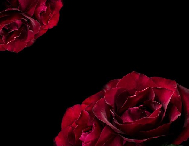Linda rosa vermelha na escuridão. fundo natural floral temperamental escuro.