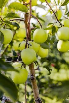 Linda saborosa maçã verde no galho de macieira no pomar. colheita de outono no jardim lá fora. aldeia, estilo rústico. copie o espaço.