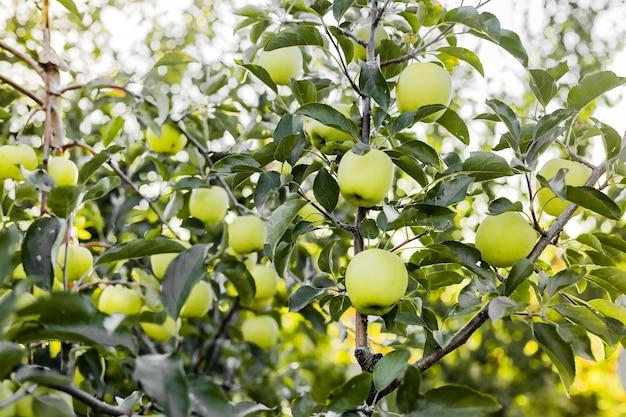 Linda saborosa maçã verde no galho de macieira no pomar. colheita de outono no jardim lá fora. aldeia, estilo rústico. foto.