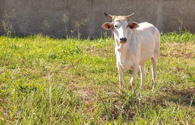 Linda vaca branca parada no prado
