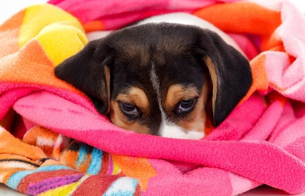 Lindas beagle puppi marrom e preto