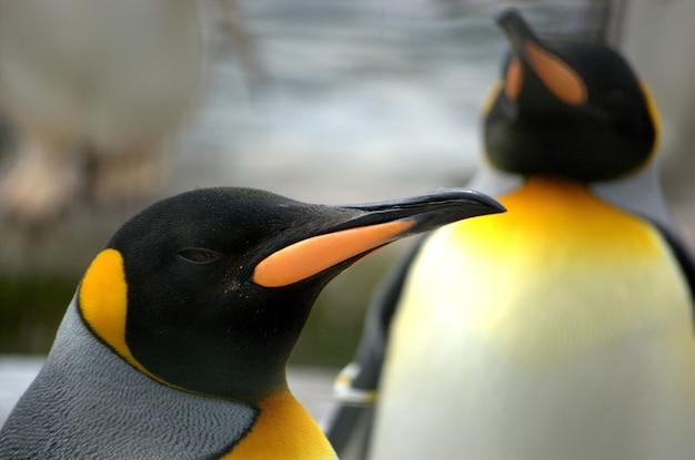 Lindas cores brilhantes na cabeça de um pinguim-rei.