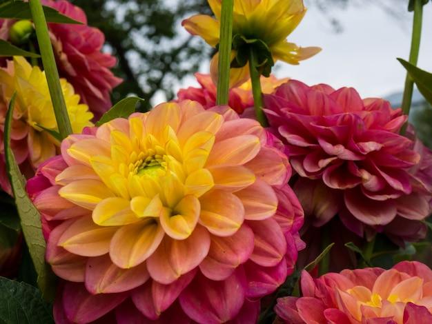 Lindas dálias rosa e amarelas em flor à luz do sol, lindo fundo floral