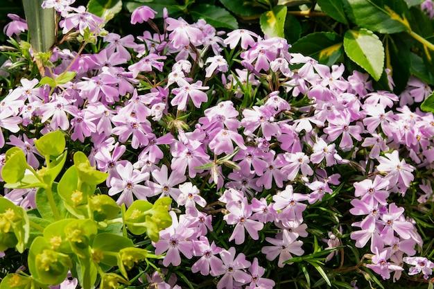 Lindas e delicadas flores de cobertura do solo de phlox subulate com pétalas vivas de flores de primavera no jardim