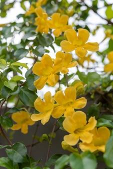 Lindas flores amarelas com folhas verdes cat's claw, catclaw vine