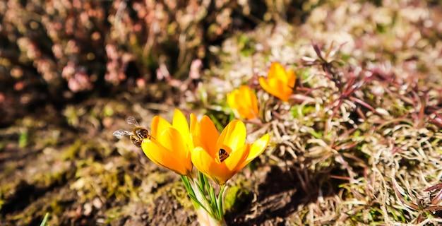 Lindas flores amarelas de açafrão com abelhas no jardim primavera