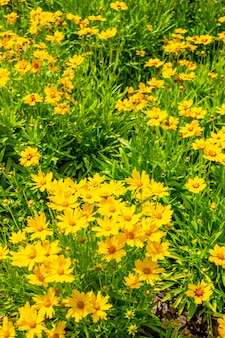 Lindas flores amarelas em coreopsia com folhas de lance