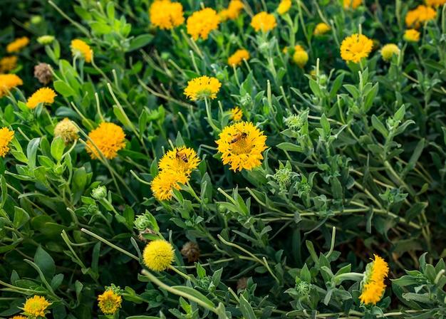 Lindas flores amarelas naturais no jardim