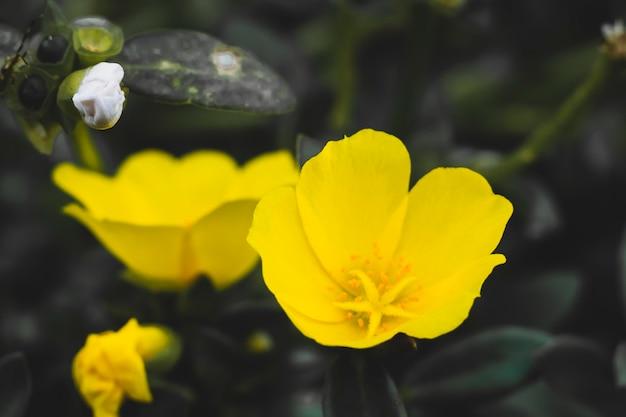 Lindas flores amarelas oenothera biennis