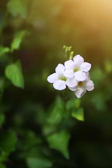 Lindas flores brancas com luz do sol no fundo da natureza