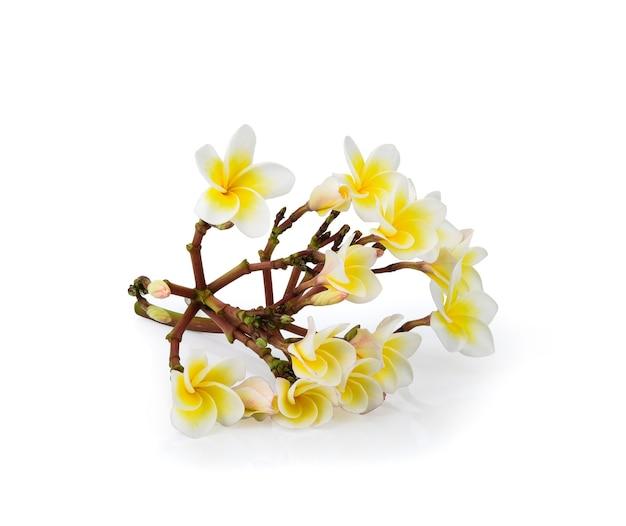 Lindas flores brancas de plumeria rubra isoladas na superfície branca