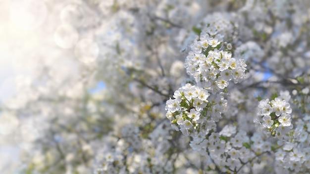 Lindas flores brancas de uma cerejeira desabrochando sob a luz do sol