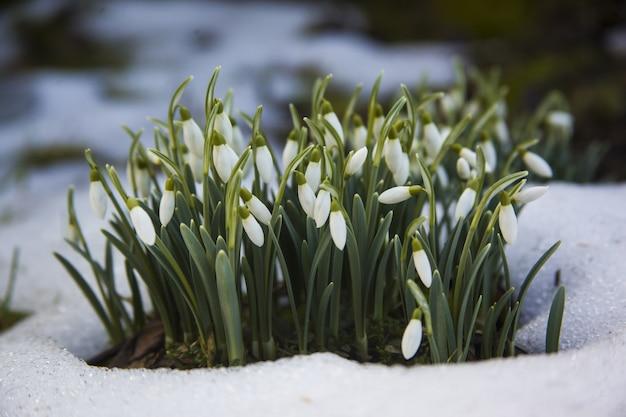 Lindas flores brancas em forma de floco de neve em um terreno nevado - o início de uma primavera