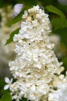 Lindas flores brilhantes de lilás branco em uma manhã ensolarada de primavera