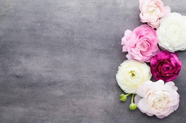 Lindas flores coloridas de ranúnculo em um fundo cinza.