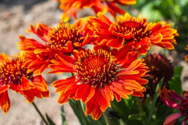 Lindas flores coloridas de verão desabrochando no jardim