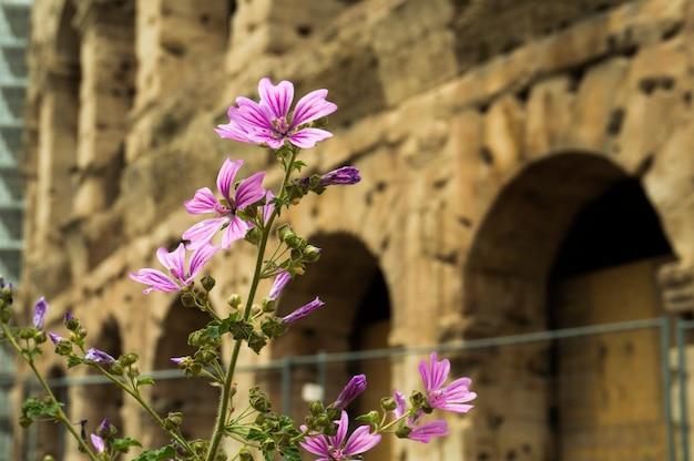 Lindas flores com o antigo coliseu no fundo. roma, itália