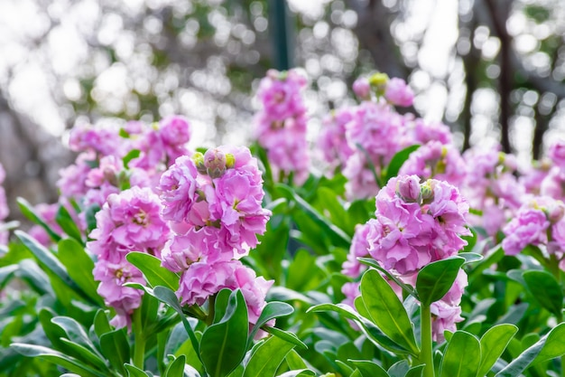 Lindas flores cor de rosa no jardim de manhã.