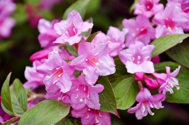 Lindas flores cor de rosa weigela florida.