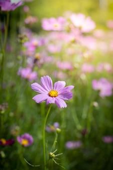 Lindas flores cosmos no jardim