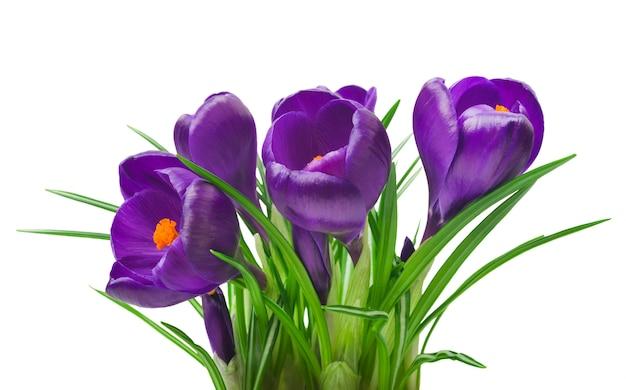 Lindas flores de açafrão