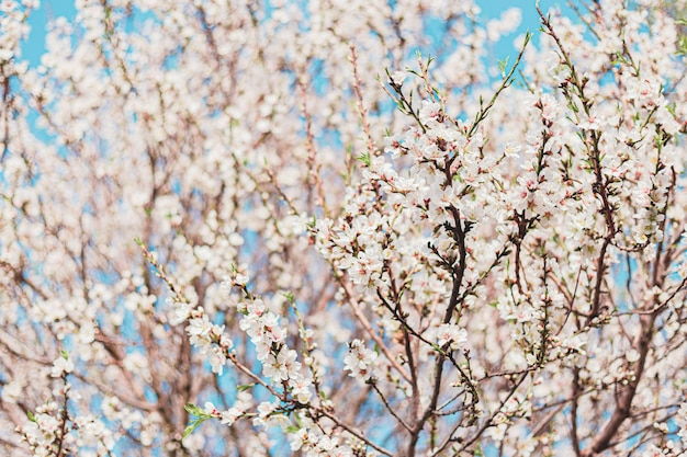 Lindas flores de amêndoa na árvore com céu azul atrás na primavera