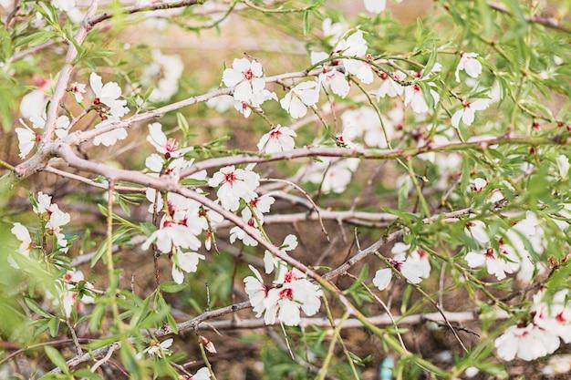 Lindas flores de amêndoa na árvore com fundo verde de folhas e galhos na primavera