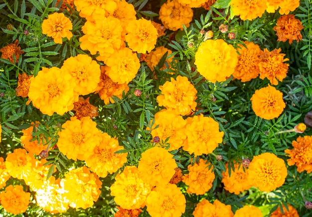 Lindas flores de calêndula amarela, calêndulas de jardim. close-up de flores de calêndula. padrão de fundo amarelo malmequeres.