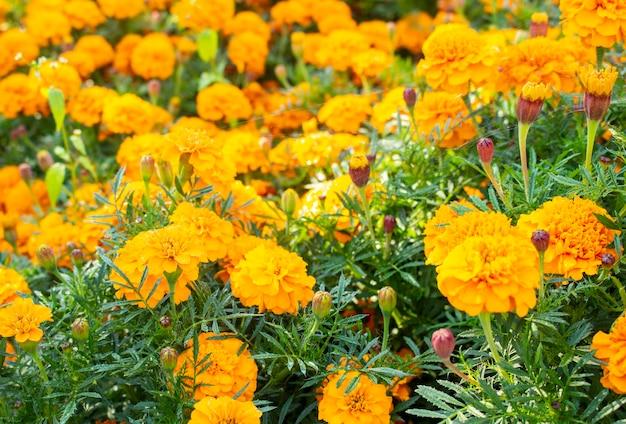 Lindas flores de calêndula amarela, calêndulas de jardim. close-up de flores de calêndula.