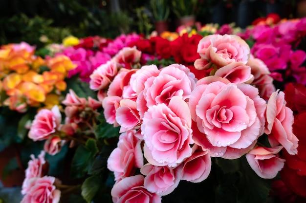 Lindas flores de camélia com flores coloridas no jardim