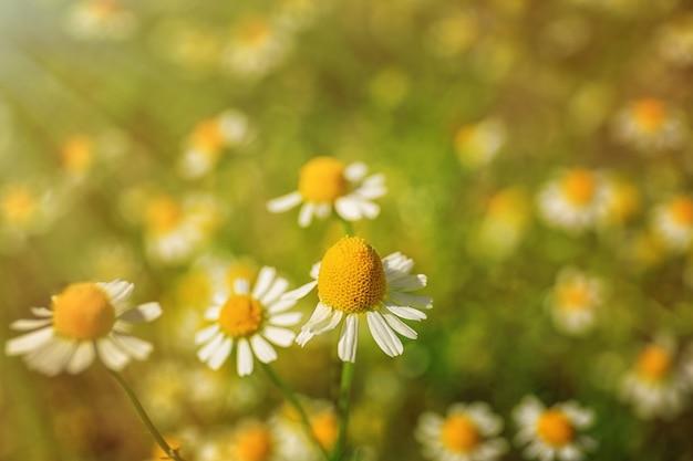 Lindas flores de camomila no campo, closeup