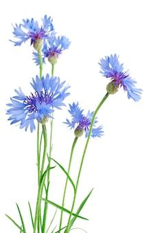 Lindas flores de centáurea azul