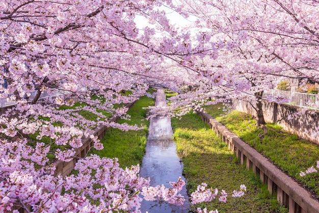 Lindas flores de cerejeira ao longo de um pequeno rio no japão na primavera