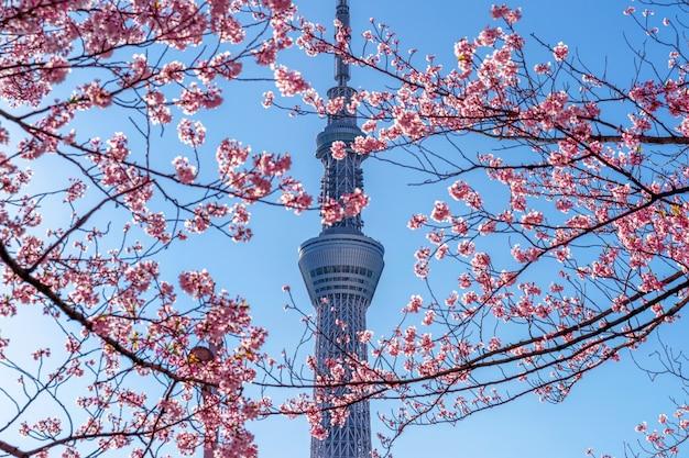 Lindas flores de cerejeira e a árvore do céu de tóquio na primavera em tóquio, japão.