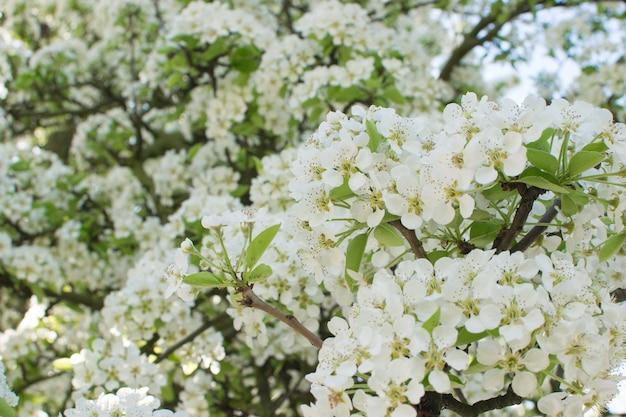 Lindas flores de cerejeira no jardim da primavera flores de frutas brancas no parque