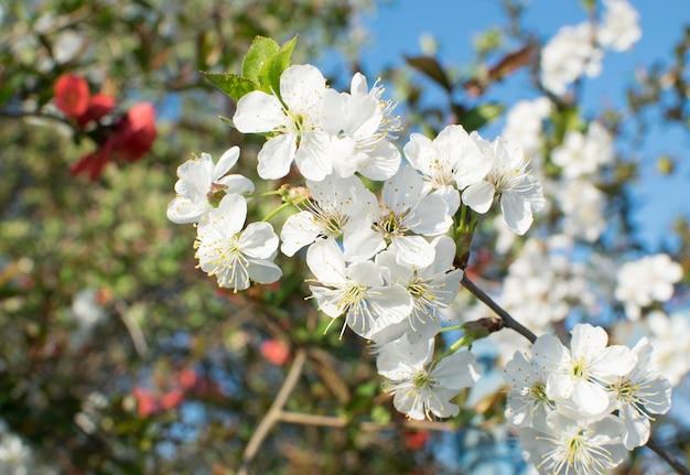 Lindas flores de cerejeira no jardim primavera. flores de frutas brancas no parque