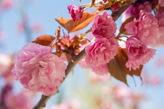 Lindas flores de cerejeira rosa desabrochando no jardim japonês na primavera