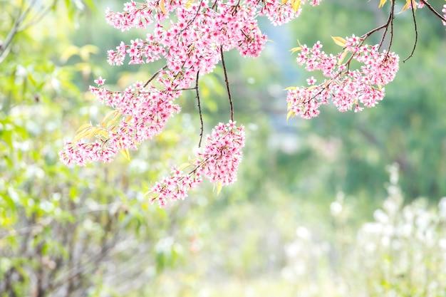 Lindas flores de cerejeira rosa penduradas na árvore