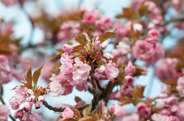 Lindas flores de cerejeira rosa