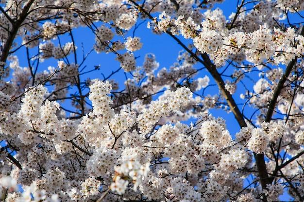 Lindas flores de cerejeira. sakura floresce no japão. viajar na primavera.