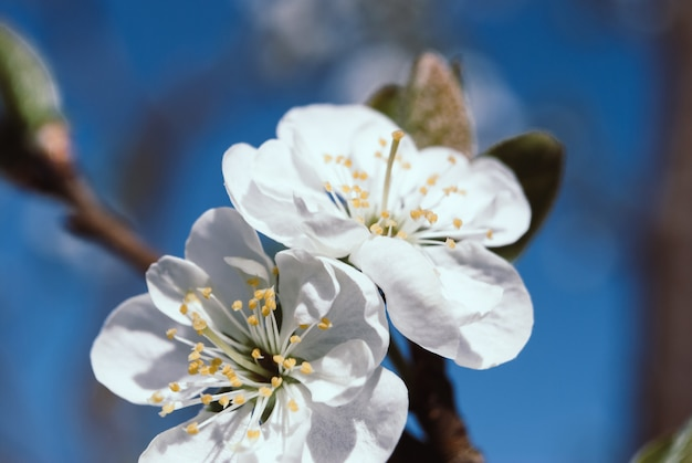Lindas flores de cerejeira. sakura