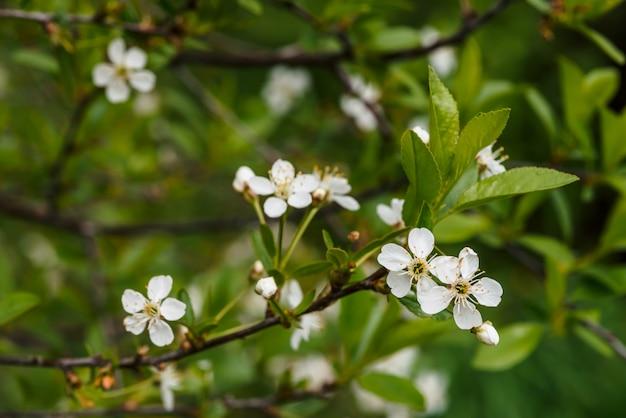 Lindas flores de close-up de cerasus árvore.